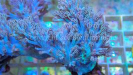 Nachzucht Cespitularia blue  infirmata  spp.