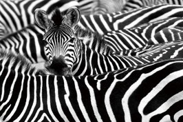 Schilderij Zebra Black and White