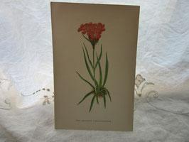 5-10    ナデシコ?の花、手彩の絵イギリス買付
