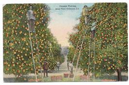 Alte Foto Postkarte ORANGENPFLÜCKER BEI DER ERNTE AUF DER PLANTAGE,  USA 1920er Jahre