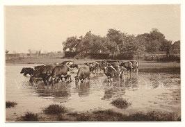 Alte Fotografie norddeutsche Landschaft mit Kühen, um 1910