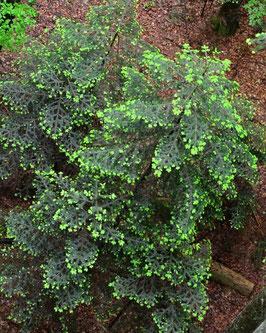 Tannenwald 10 ml  Ätherische Öle Mischung naturrein