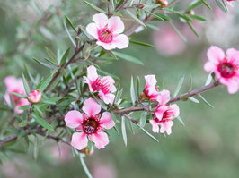 Ätherisches Öl Teebaum 10 ml  100 % naturrein, australisch