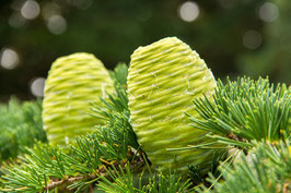Ätherisches Öl Zedernholz - Himalaya  10 ml  100 % naturrein