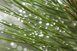 Ätherisches Öl Kiefernnadel 10 ml  100 % naturrein