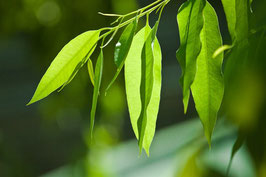 Ätherisches Öl Eukalypto-Citriodora 50 ml  100 % naturrein