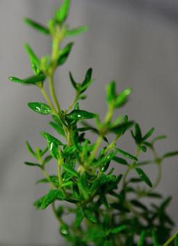 Ätherisches Öl Thymian hell rektifiziert  10 ml  100 % naturrein