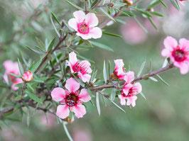 Ätherisches Öl Teebaum 100 ml  100 % naturrein, australisch