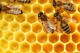 Ätherisches Öl Honig Absolue  1 ml  100% naturrein