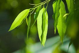 Ätherisches Öl Eukalypto-Citriodora 10 ml  100 % naturrein