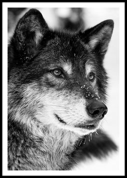 Wolf, Poster
