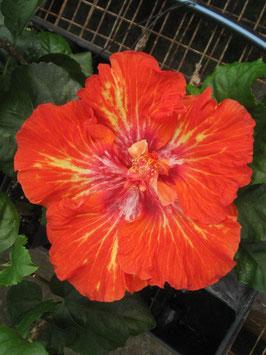 Tangerine Blast
