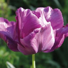 Tulipa 'Victoria's Secret'