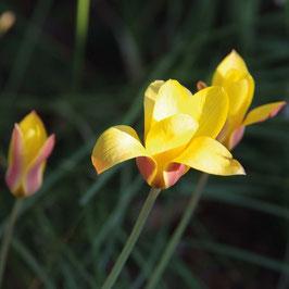 Tulipa clusiana 'Tubergen's Gem'