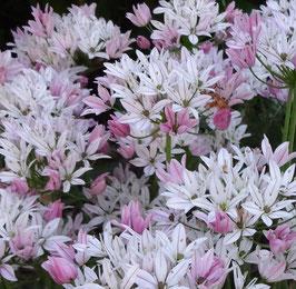 Allium 'Cameleon'