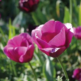Tulipa 'Don Quichote'