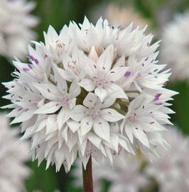 Allium 'Graceful Beauty'
