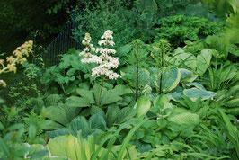 Rodgersia Hybride 'Kupfermond'