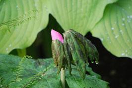 Podophyllum hexandrum var. chinense