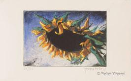 Peter Wever - Sonnenblume