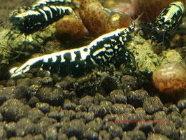 High Grade of Black Galaxy Fishbone (over 8 Spots)