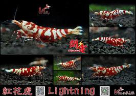 SSS Grade of Red Fancy Tiger (Lightning)