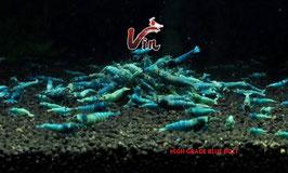 High Grade of Deep Blue Bolt Garnelen