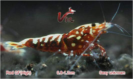 High Grade of Red Galaxy Fishbone (5-8 Spots)