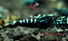 Mid Grade of Black Galaxy Fishbone (5-8 Spots)