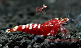 Mid Grade of Red Galaxy Fishbone (2-4 Spots)