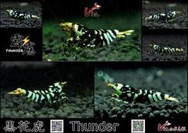 SSS Grade of Black Fancy Tiger (Thunder)