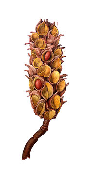 Fruchtstand einer Magnolie - Format: A4 - Aquarellfarben auf Aquarellkarton