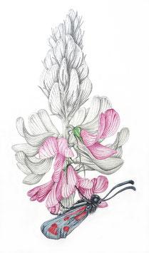 Schmetterlingsblütler mit Falter - Format: A4 - Aquarellfarben auf Aquarellkarton