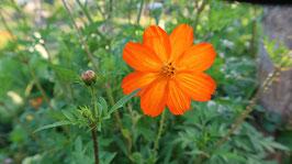 Orange Cosmea