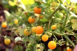 Gelbe Wildtomate