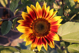 Rot / Gelbe Sonnenblume