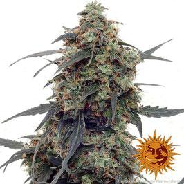 "Barney's Farm ""Tangerine Dream Autoflowering"""