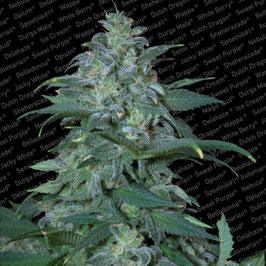 "Paradise Seeds ""Magic Bud"""