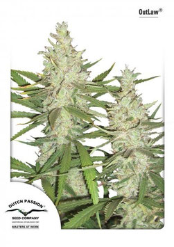 "Dutch Passion ""Outlaw Amnesia"""