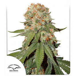 "Dutch Passion ""Orange Bud"""