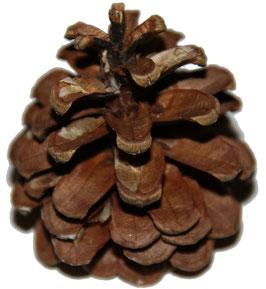 Pomme de pin naturelle
