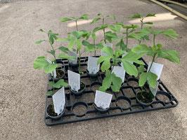 Lebensbaum Mini (Ginkgo biloba)
