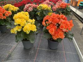 Elatior-Begonie (Begonia elatior)