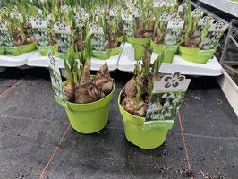 Frühlingsknotenblume (Leucojum)