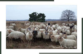 Schapen winter