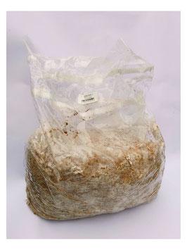 Bolsa de micelio de shiitake de 5 litros sobre serrín de roble.