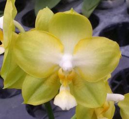 Phalaenopsis KS Jadegreen ´Sweet´