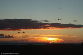 Nordseemöve im Sonnenuntergang