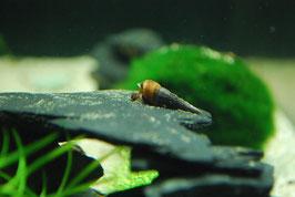 Schwarze Turmdeckelschnecke - Melanoides maculata