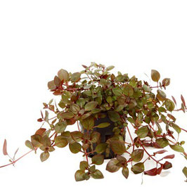 Ludwigia sp. ' Super Red' -  Tiefrote Ludwigie